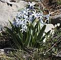 Hyacinthus - Sümbül 01.jpg