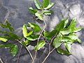 Hydnocarpus alpina-6-mundanthurai-tirunelveli-India.jpg