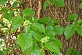 Hydrangea anomala petiolaris 1zz.jpg