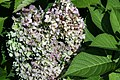 Hydrangea macrophylla All Summer Beauty 4zz.jpg