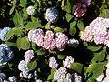Hydrangeas in park flowers.jpg