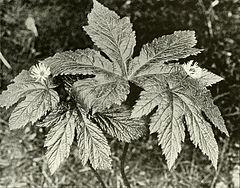 Hydrastis canadensis WFNY-f015.jpg