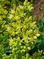 Hylotelephium telephium ssp. maximum 002.JPG