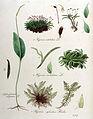 Hypnum rutabulum — Flora Batava — Volume v10.jpg