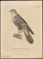 Hypotriorchis femoralis - 1700-1880 - Print - Iconographia Zoologica - Special Collections University of Amsterdam - UBA01 IZ18200215.tif