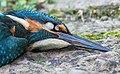 IJsvogel (Alcedo atthis). Raamslachtoffer. (d.j.b.) 02.jpg