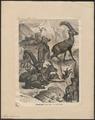 Ibex alpinus - 1700-1880 - Print - Iconographia Zoologica - Special Collections University of Amsterdam - UBA01 IZ21300149.tif