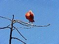 Ibis rouge (2363125917).jpg