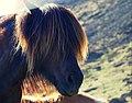 Icelandic Horse Hair (42818308304).jpg