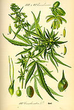 Illustration Cannabis sativa0.jpg