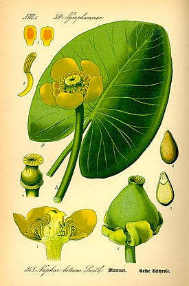 Illustration Nuphar lutea0.jpg