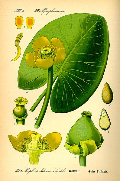Fájl:Illustration Nuphar lutea0.jpg