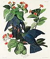 Illustration from Birds of America (1827) by John James Audubon, digitally enhanced by rawpixel-com 177.jpg