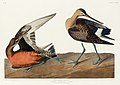 Illustration from Birds of America (1827) by John James Audubon, digitally enhanced by rawpixel-com 259.jpg