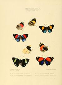 Illustrations of new species of exotic butterflies Catagramma VIII.jpg