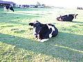 Im Land der glücklichen Kühe.JPG