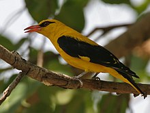 Indian Golden Oriole (Oriolus kundoo), male at Secunderabad W2 IMG 6715.jpg