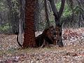 Indian Lion (Panthera leo persica) at IG Zoo Park 02.jpg