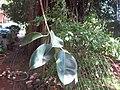 Indian Rubber Tree - ഇന്ത്യൻ റബ്ബർ മരം 06.JPG