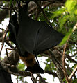 Indian flying fox (Pteropus giganteus) in AP W IMG 8118.jpg