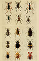 Indian insect life (Plate XVI) (6279514709).jpg
