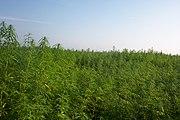 Ein Faserhanf Feld