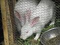 Infant rabbit.jpg