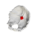 Internal occipital protuberance - close-up2.png