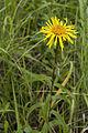 Inula salicina coteau-charteves 02 23062007 19.jpg