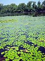 Invasive water chestnuts in Oxbow Lake, Easthampton Mass. (4791162788).jpg