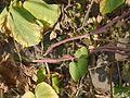 Ipomoea parasitica (Kunth) G. Don (4171301200).jpg