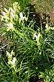 Iris bucharica in Jardin des Plantes 05.jpg
