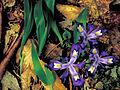 Iris cristata FWS-02.jpg