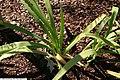 Iris cristata Powder Blue Giant 1zz.jpg
