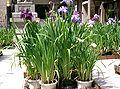 Iris ensata var ensata5.jpg