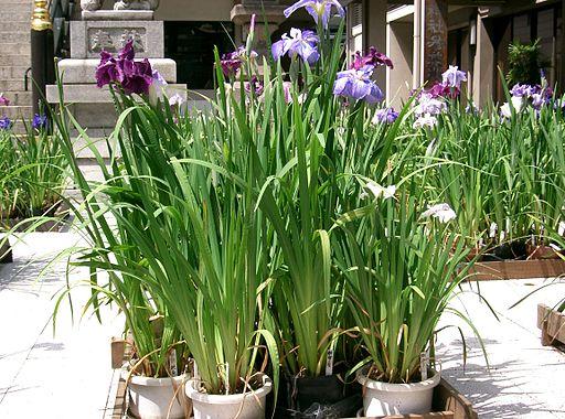 Iris ensata var ensata5