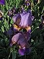 Iris germanica (Purple bearded iris) 2018.jpg