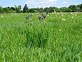 Iris sibirica Bobrovnya3.JPG