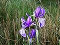 Iris sibirica sl20.jpg