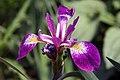 Iris versicolor 5zz.jpg