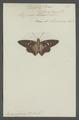 Ismene - Print - Iconographia Zoologica - Special Collections University of Amsterdam - UBAINV0274 054 05 0002.tif
