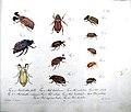 Jablonsky Insektenwerk 12 Tafel XXII Maikäfer von Johann Heusinger.jpg