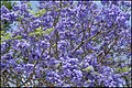 Jacaranda starting to bloom over Scarborough-1 (30281233556).jpg