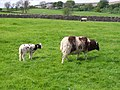 Jacob Sheep - geograph.org.uk - 441039.jpg
