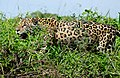 Jaguar (Panthera onca) male hunting along the river bank ... (28093782530).jpg