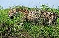 Jaguar (Panthera onca) male hunting along the river bank ... (28093782530).jpg