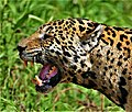 Jaguar flehmen response.jpg