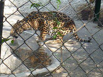 The Nest (aviary) - Jaguar in captivity