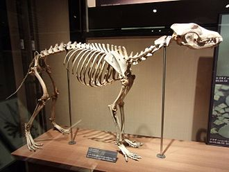 Japanese wolf - Mounted skeleton, National Museum of Nature and Science
