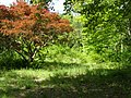 Japanese Maple 070 Homesite.jpg